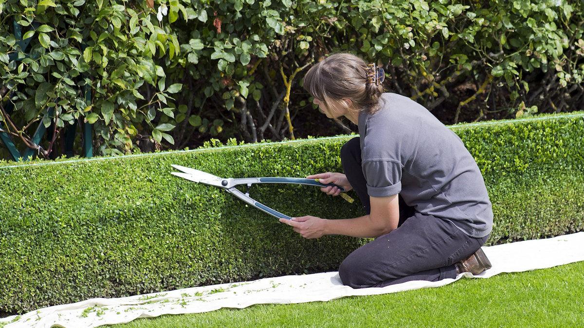 Стриженые изгороди в оформление сада